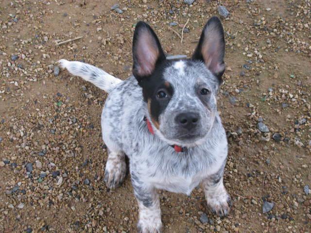 Photo de Jim, chien Bouvier d'Australie - 282762 - Wamiz