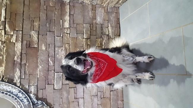 Jimmy, chien Border Collie