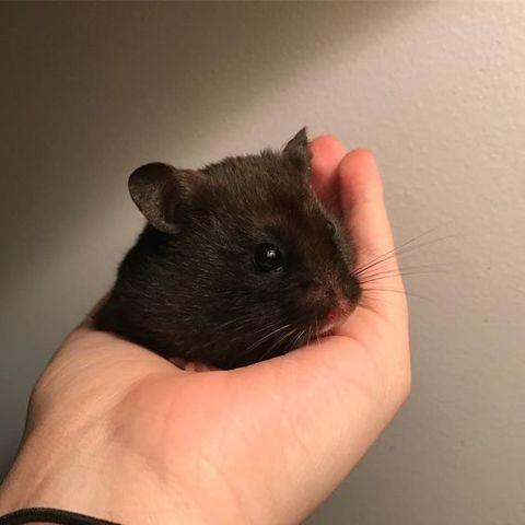 Jinx, Hamster