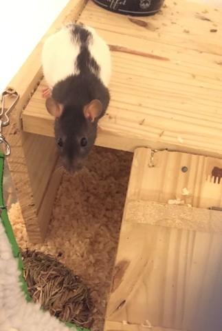 Jinx, rongeur Rat