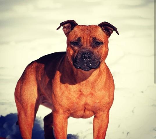 Jipsy (Chien Staffordshire Bull Terrier) 47 - Wamiz