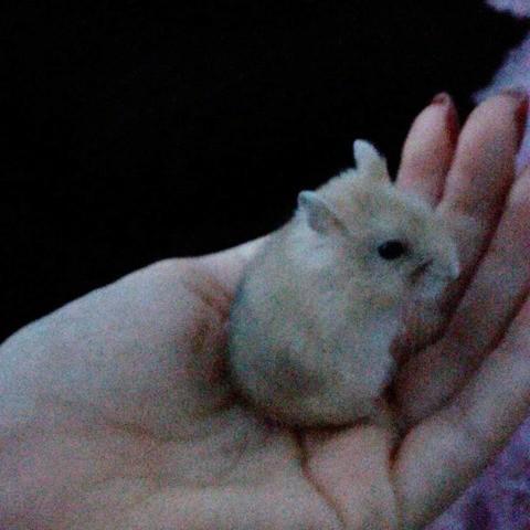Joke, rongeur Hamster