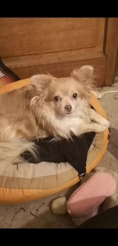Joy, Chihuahua