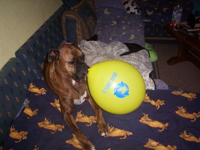Jules Rip, chien Boxer