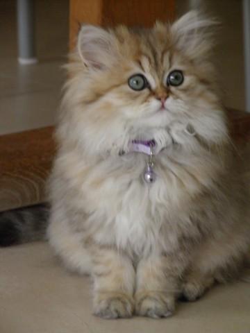 Juliette, chat Persan