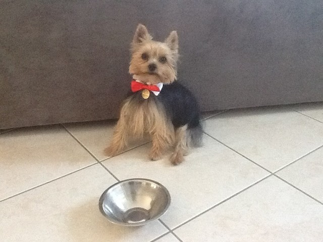 Junior, chien Yorkshire Terrier