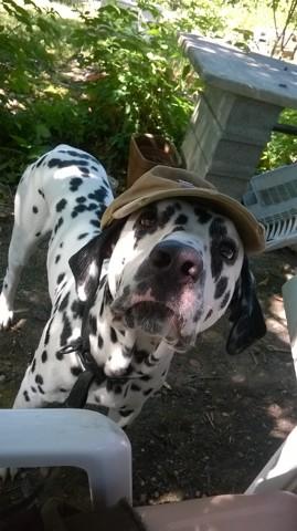 Junky, chien Dalmatien