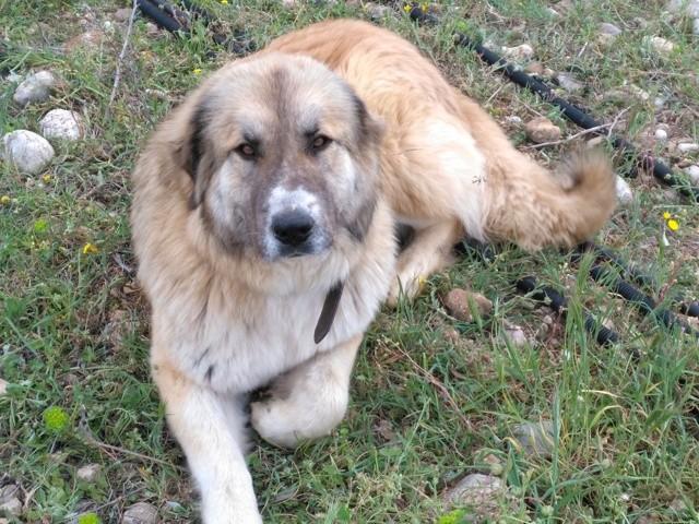 Junon, chien Berger du Caucase