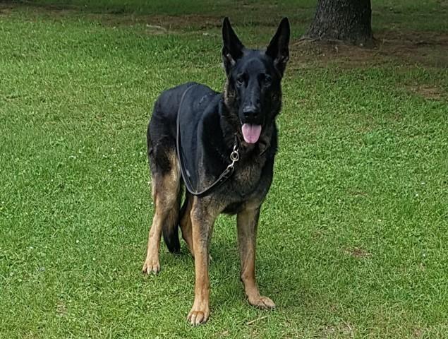 Kado, chien Berger allemand