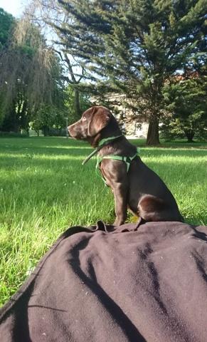 Kafrine, chien Labrador Retriever