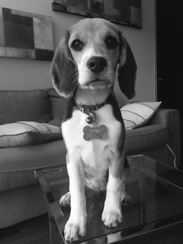 Kala, chiot Beagle