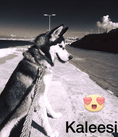 Kaleesi, chien Husky sibérien