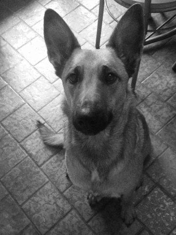 Kalya, chien Berger belge