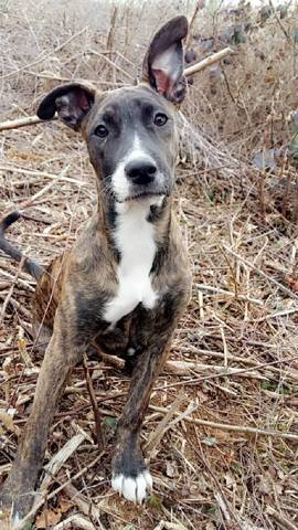 Karat, chien Staffordshire Bull Terrier