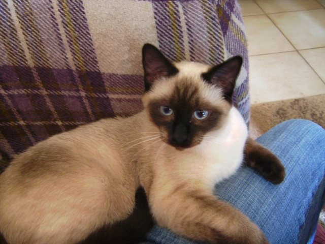 Kawaii, chat Siamois
