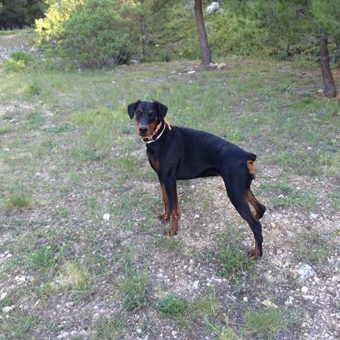 Kaya, chien Dobermann