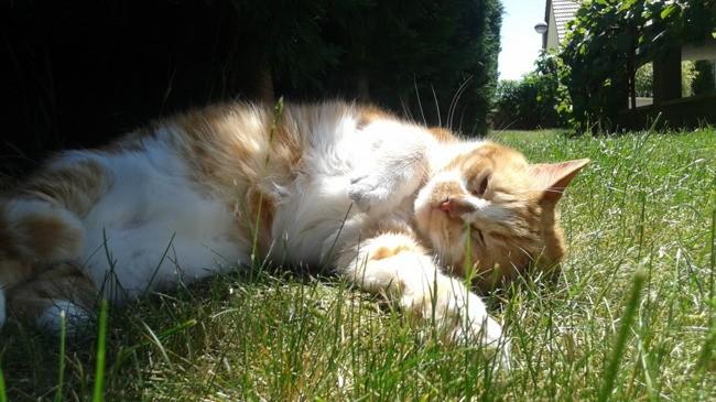Kenzo, chat Européen