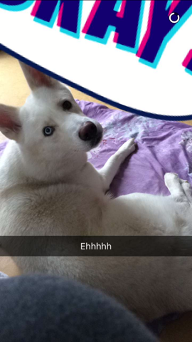 Kenzo, chien Husky sibérien