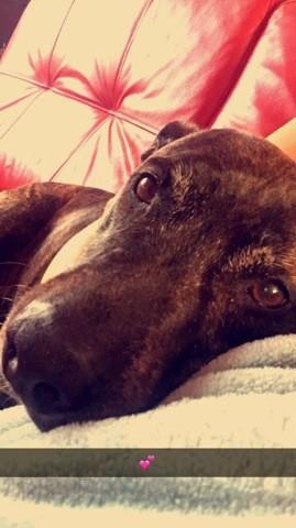 Keyna, chien American Staffordshire Terrier