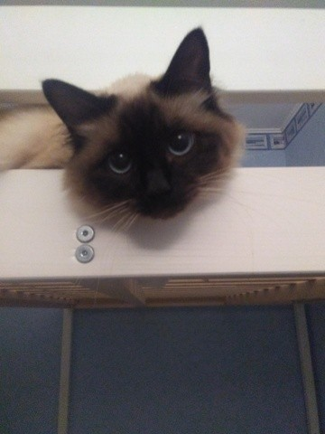 Kiara, chat Birman