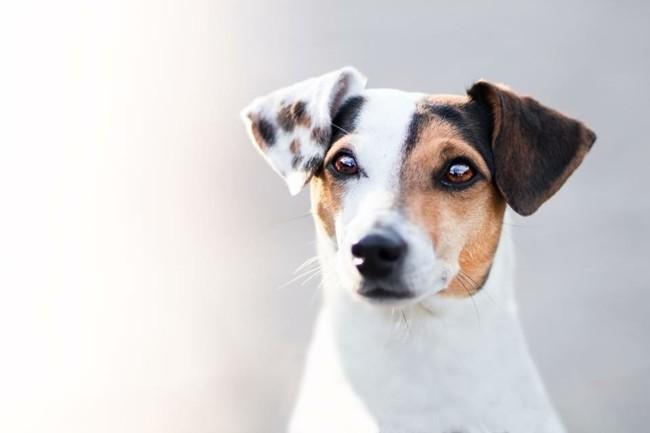 Kiara, chien Jack Russell Terrier