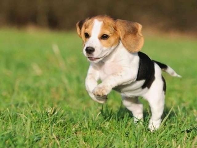 Kira, chien Beagle