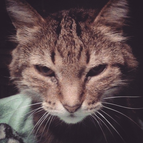 Kissa, chat