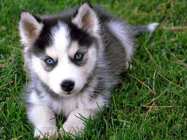 Klin, chiot Husky sibérien