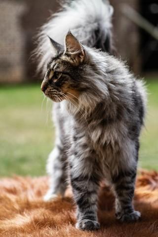 Knut, chat Norvégien
