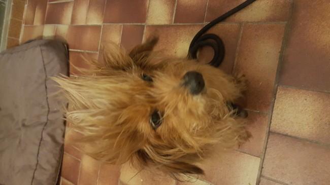 Koda, chien Caniche