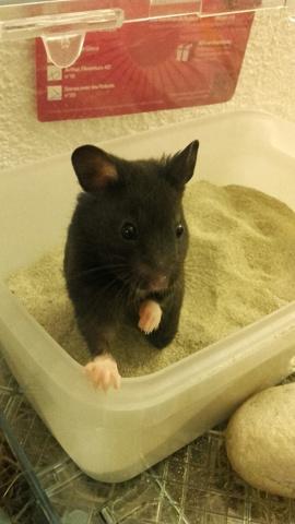 Kriou-, rongeur Hamster
