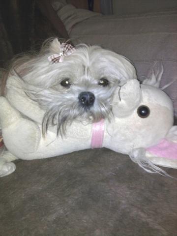 Kyra, chien Shih Tzu