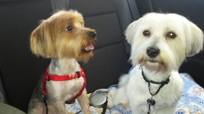 Kywi Dit Kyki, chien Yorkshire Terrier