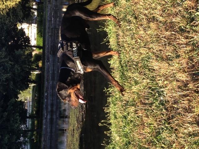 L-Boy, chien Rottweiler