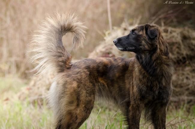 L'Ombra De Las Sesteriades, chien Cursinu