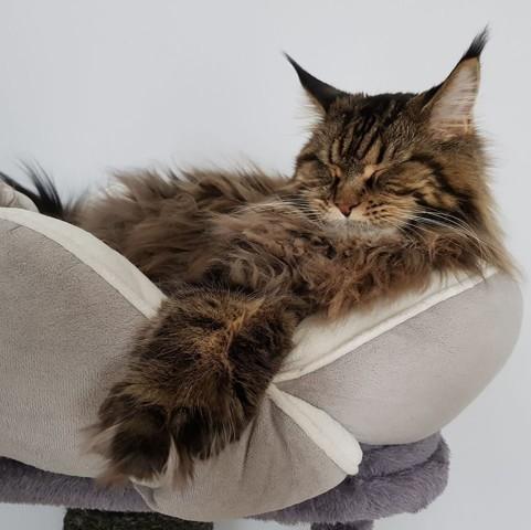 La Dolce Vita, chat Manx