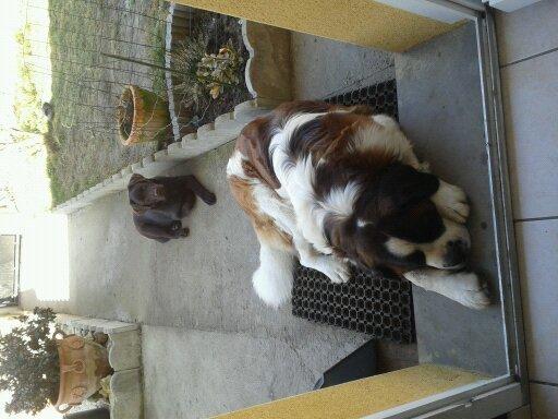 Aslane, chien Labrador Retriever