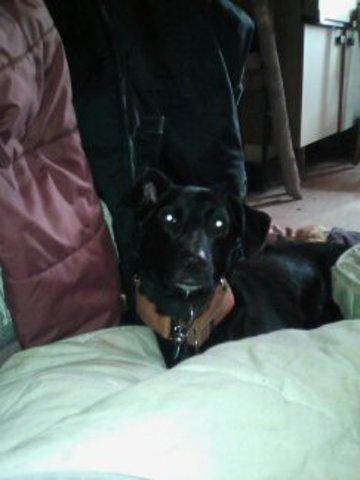 Shanone, chien Labrador Retriever