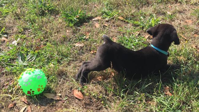 Geiko, chien Labrador Retriever