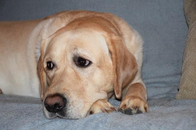 Lyos, chien Labrador Retriever