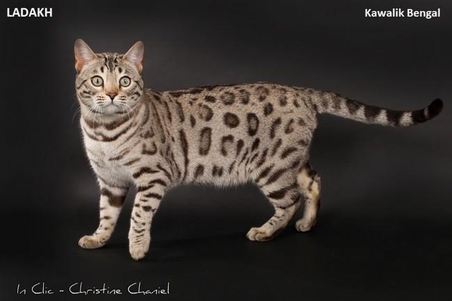 Ladakh, chat Bengal