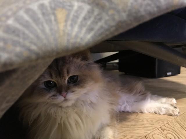 Lady, chaton Scottish Fold à poil long