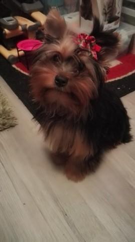 Laika, chien Yorkshire Terrier