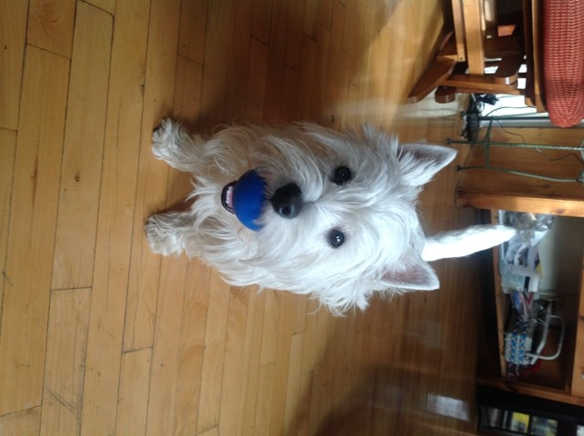 Laika, chien West Highland White Terrier