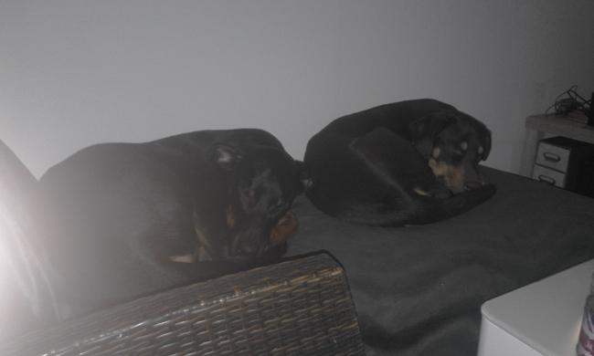Laiko, chien Beauceron