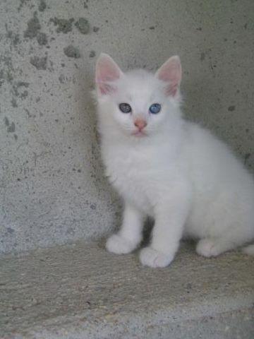 Lamela, chaton Angora turc