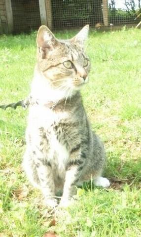Lamia, chat Européen