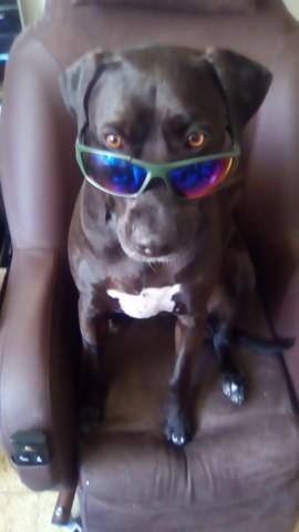 Lana, chien Staffordshire Bull Terrier