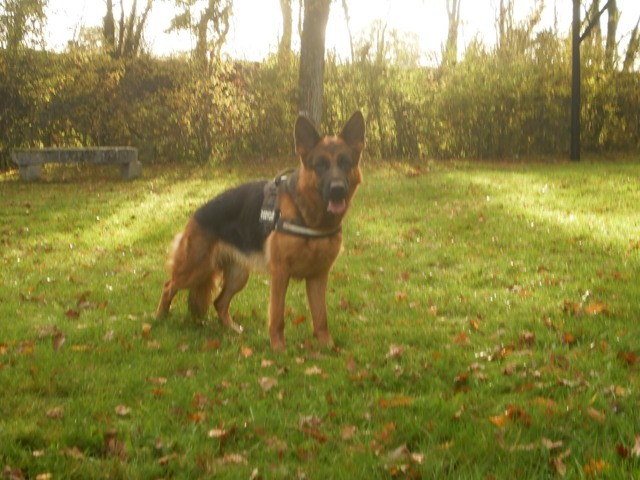 Lana, chien Berger allemand