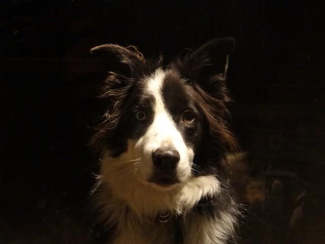 Lancelot, chien Border Collie